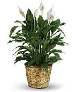 SIMPLY ELLEGANT SPATHIPHYLLUM- MEDIUM